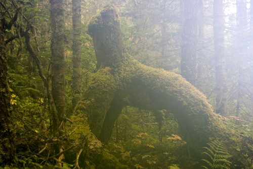 Old stump in morning fog at Isaac Lake.