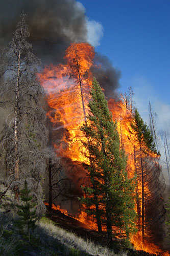 Fire spreading from one tree to the next.